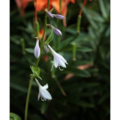 Schneefederfunkie (Hosta undulata)