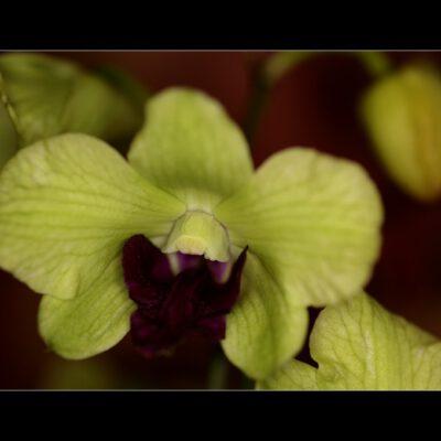 Ein bildschönes Dendrobium…