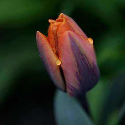 """Tulpe """"Prinzeß Irene"""""""