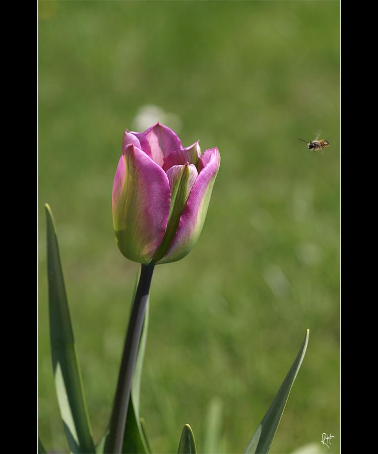 fc_4257-tulpe.jpg
