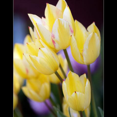 Tulpe Antoinette