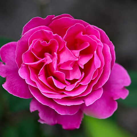 Heidi-Klum Rose