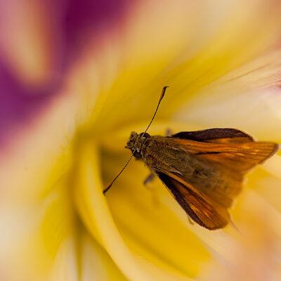 Rostfarbiger Dickkopffalter (Ochlodes sylvanus) in Fuchsia Dream*
