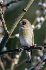 Grünfink (weiblich)