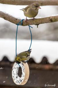 Erlenzeisig und Grünfink