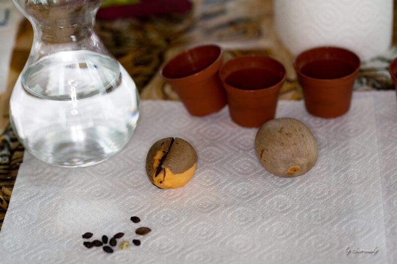 Avocadokerne , Töpfchen und die Samen aus Kroatien