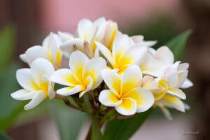blog_SAM_5055-Plumeria-gelb-weiss
