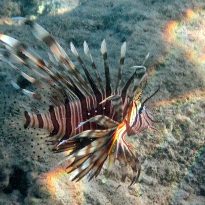 Indischer Rotfeuerfisch (Pterois miles)