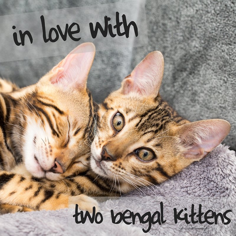 Cover In love with 2 bengal kittens