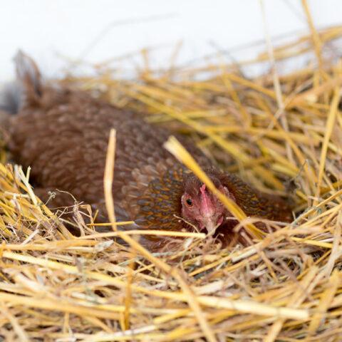 Unsere 1. Glucke sitzt auf 10 Eiern